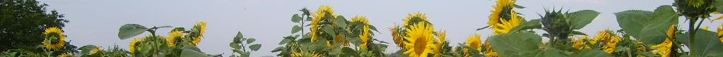 header-sunflowers.jpg